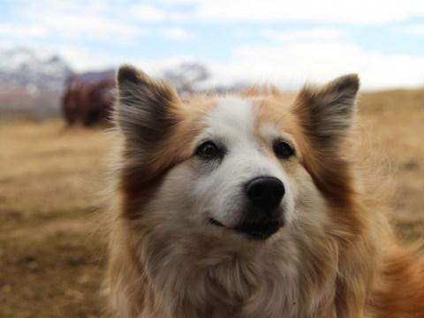 สุนัข 17 สายพันธุ์ที่ง่ายที่สุดในการฝึกไม่เต็มเต็ง