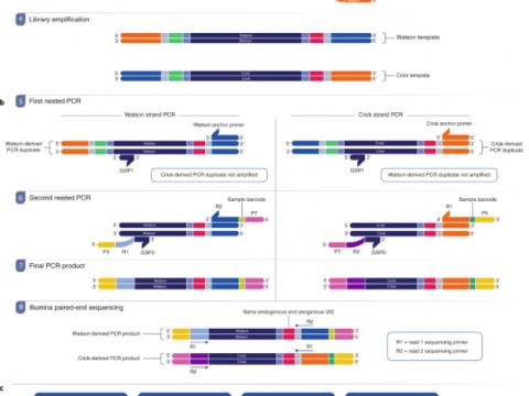 Watson 및 Crick 가닥의 표적 시퀀싱을 통한 저주파 DNA 변이체 검출