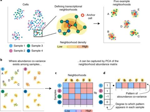 공변하는 이웃 분석은 단일 세포 전사체에서 관심 표현형과 관련된 세포 집단을 식별합니다.